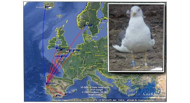 Seagulls as biomonitoring tools - Ring Recovery