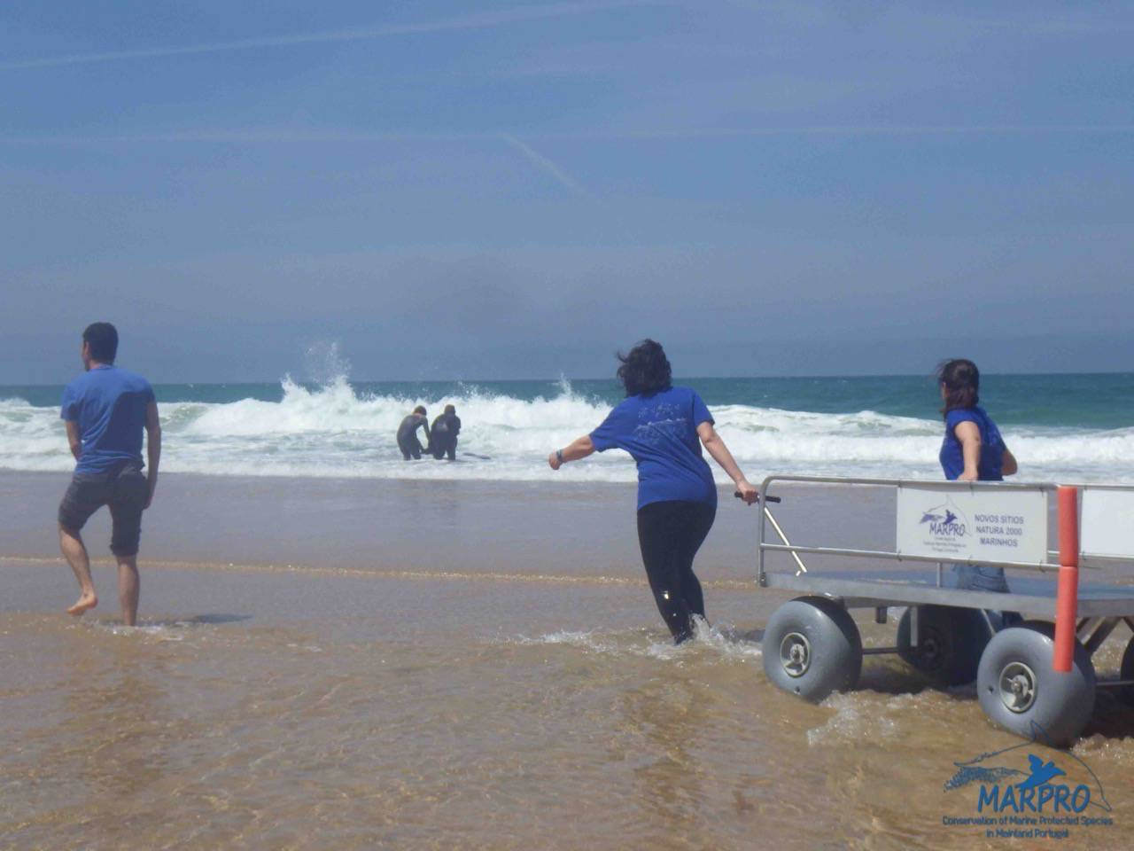 "Pigmy sperm whale rescue on ""Praia do Navio"" beach, Santa Cruz, Torres Vedras"